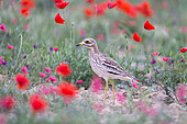 Eurasian stone curlew, Eurasian thick-knee, Stone-curlew (Burhinus oedicnemus) near by the nest in the middle of the poppies, Catalonia, Spain