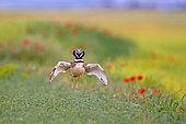 Outarde canepetière (Tetrax tetrax), mâle en parade nuptiale dans un champ avec des Coquelicots, Catalogne, Espagne