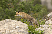 Red Fox (Vulpes vulpes), coming at a feeding station to find food, Province of Lleida, Spain,