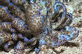 Solar powerd Nudibranch, Phyllodesmium longicirrum, Triton Bay, West Papua, Indonesia