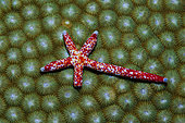 Comet Starfish regenerating, Linckia multifora, Russell Islands, Solomon Islands