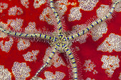 Brittlestar on Pincushion Starfish