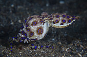 Greater Blue-ringed Octopus, Hapalochlaena lunulata, Lembeh Strait, North Sulawesi, Indonesia