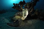 Green Sea Turtle, Chelonia mydas, Marsa Alam, Red Sea, Egypt
