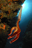 Fireworm feeding on Starfish, Hermodice carunculata, Susac, Adriatic Sea, Croatia