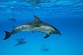 Atlantic Spotted Dolphin, Stenella frontalis, Caribbean, Bahamas