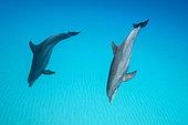 Bottlenose Dolphin, Tursiops truncatus, Caribbean, Bahamas