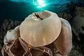 Anémone de mer oreille d'éléphant (Amplexidiscus fenestrafer), Pantar, Kabupaten d'Alor , Petites îles de la Sonde, Indonesie