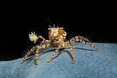 Boxer Crab on blue Starfish, Lybia tesselata, Lembeh Strait, North Sulawesi, Indonesia