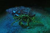 Fluorescent Hermit Crab, Pagurus anachoretus, Piran, Istria, Slovenia