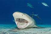 Lemon Shark cleaned by Remora, Negaprion brevirostris, Caribbean, Bahamas
