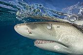 Lemon Shark, Negaprion brevirostris, Caribbean, Bahamas
