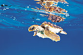 Juvenile Loggerhead Turtle, Caretta caretta, Caribbean Sea, Bahamas