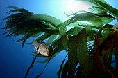 Kelp Bass in Kelp Forest, Paralabrax clathratus, Catalina Island, California, USA