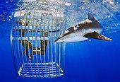 Tourists watching Galapagos Shark, Carcharhinus galapagensis, Oahu, Hawaii, USA