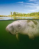 Florida Manatee, Trichechus manatus latirostris, Crystal River, Florida, USA