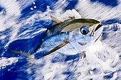 Juvenile Yellowfin Tuna, Thunnus albacares, Big Island, Hawaii, USA