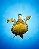 Green Sea Turtle, Chelonia mydas, Big Island, Hawaii, USA