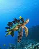Green Sea Turtle cleaned by Fishes, Chelonia mydas, Big Island, Hawaii, USA
