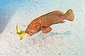 Graysby Grouper swallowing Grunt, Epinephelus cruentatus, Islamorada, Florida Keys, USA