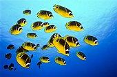 School of Raccoon Butterflyfish, Chaetodon lunula, Big Island, Hawaii, USA