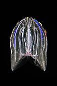 Bioluminescent Warty Comb Jellyfish, Mnemiopsis leidyi, Hawaii, USA