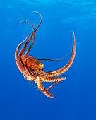 Day Octopus, Octopus cyanea, Kohala Coast, Big Island, Hawaii, USA