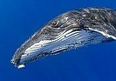 Humpback Whale, Megaptera novaeangliae, Hawaii, USA