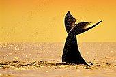 Fluke of Humpback Whale, Megaptera novaeangliae, Hawaii, USA