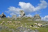 Flock of sheep, the rock Roc de l'Oule, Dolomitic chaos of Nîmes-le-Vieux, Causse Méjean, Cévennes National Park, France
