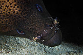 Giant moray (Gymnothorax javanicus) cleaned by Cleaner shrimps (Urocaridella antonbruunii), Mayotte
