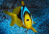 Madagascar anemonefish (Amphiprion latifasciatus) over host Mertens' carpet sea anemone (Stichodactyla mertensii), Mayotte