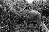 Asian Elephant (Elephas Maximus) hauling in the forest, Myanmar. On the road to the village elephants feed in the forest before the bath. In the Taungoo area, elephants are used from November to March for skidding trunks of precious trees. In Mying Whai Wynn, mahouts of the Bamas ethnic group go and find Iron Wood and teak in the jungle near their village.