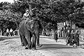 Asian Elephant (Elephas Maximus) hauling in the forest, Myanmar. After spending the night in the forest, the elephants are brought to the village to prepare themselves for skidding. In the Taungoo area, elephants are used from November to March for skidding trunks of precious trees. In Mying Whai Wynn, mahouts of the Bamas ethnic group go and find Iron Wood and teak in the jungle near their village.