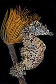 Mediterranean sea seahorse(Hippocampus hippocampus) on Spirograph (Sabella spallanzani), Mediterranean Sea