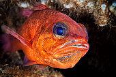 Cardinal Fish (Apogon imberbis) male incubating eggs in its mouth, Nisida, Tyrrhenian Sea, Italy