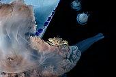 Etrille phorétique (Liocarcinus vernalis) sur tentacule de Méduse (Rhizostoma pulmo), baie de Naples, mer Tyrrhénienne