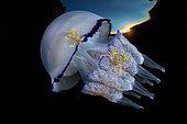 Méduse (Rhizostoma pulmo) portant des Etrilles lisses (Liocarcinus vernalis), baie de Naples, mer Tyrrhénienne, Italie. Lorsque les méduses frôlent les fonds marins sablonneux, les crabes saisissent l'occasion pour leur monter dessus et se font ainsi transporter de place en place sans effort. On appelle cette interaction entre deux espèces la phorésie. Highly commanded UPY 2017