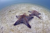 Panamic cushion star (Pentaceraster cumingi) on bottom, Sea of Cortez, La Paz, Mexico