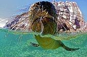 California sea lion (Zalophus californianus), Sea of Cortez, La Paz area, Mexico