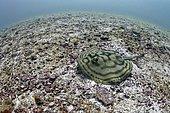 Bullseye round stingray (Urobatis concentricus) on bottom, Sea of Cortez, La Paz, Mexico