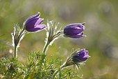 Pasque flower (Pulsatila vulgaris), Ottange, Lorraine, France