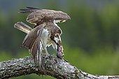 Osprey (Pandion haliaetus) eating a fish on a branch, Scotland, United Kingdom