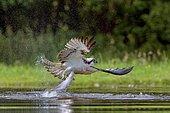 Osprey (Pandion haliaetus) capturing a fish, Scotland, United Kingdom