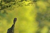 Pygmy owl (Glaucidium passerinum) adult perched, Vosges, France
