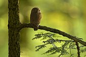 Pygmy owl (Glaucidium passerinum) adult perched on a conifer, Vosges, France