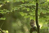 Pygmy owl (Glaucidium passerinum) adult perched on a conifer, Vosges, France