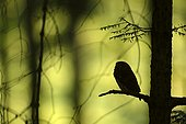 Pygmy owl (Glaucidium passerinum) adult perched on a conifer, Silhouette in Chinese shadow, Vosges, France
