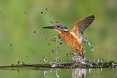 Common Kingfisher (Alcedo atthis) taking off from water after diving for prey, Lorraine, France.