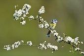 Blue Tit (Parus caeruleus) in spring on a flowering shrub, Lorraine, France